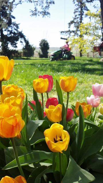 tulips and mowing